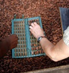 Here, Vickie and Adán load up the guillotine with a sample of beans from the drying table.